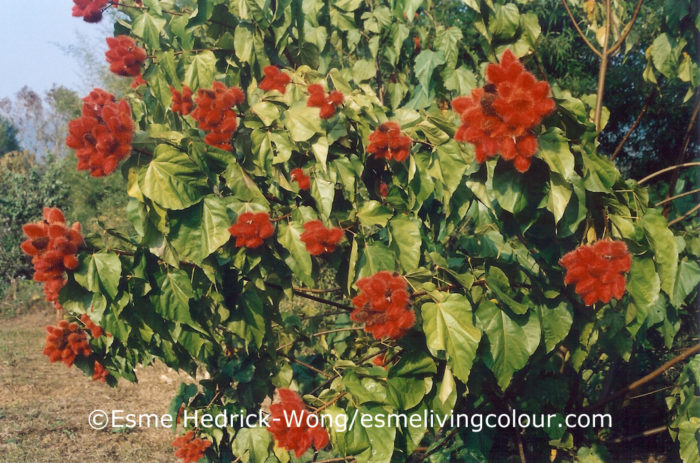 Bixa orellana Annatto is a tree, native to South America. It has been commercially cultivated in India since 1787. For thousands of years the waxy red seeds found within the hairy fruit have been used as a red and orange body paint and textile dye. Today the seeds continue to be an important non-toxic food and cosmetic colouring.