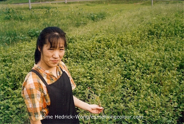 Mariko Shibata standing in front of her field of Polygonum tinctorium indigo. Mariko Shibata began working with natural dyes in 1991 while living in Sendai, a city in northern Japan. Designing naturally dyed silk scarves became such a passion for Mariko she eventually decided to find a home in the country where she could grow, harvest and prepare her own dyes, in particular, the indigo plant, Polygonum tinctorium. She did make the move to the country and continues today to design scarves and gives workshops in the art of natural dyeing.