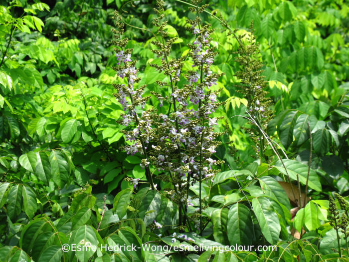 Lonchocarpus cyanescens West African Indigo, a vigorous climbing bush, was only introduced to Malaysia in 1882, but it grew well, reaching heights of 6 metres or more and required little maintenance. It's possible this bush could have become Malaysia's number one indigo producer. In 1890 synthetic indigo was invented and as the saying goes, the rest is history.