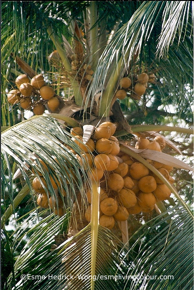 Cocos nucifera Coconut is a palm found throughout the tropics. It reaches the height of 30 metres, the fruit is surrounded by a thick fibrous husk. This husk produces wonderful shades of tan, mocha, peach, terra cotta and dark brown. Coconut milk and oil is used as a colour modifier and dye fixative.