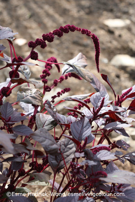 Amaranthus cruentus Amaranth Hopi Red Dye is a grain producing plant native to Central America and domesticated by farmers over 6000 years ago. The grain was used in Inca rituals dating back to 4000 BCE. The Hopi native tribe, from the American Southwest, use the pink flower bracts as a food colouring to make their traditional 'piki' flat breads pink. The whole plant can be used to make a deep pink dye bath that dyes wool yarns not pink but, intriguingly, egg yolk yellow and khaki green. However more experimentation is needed to discover how to dye yarns pink.