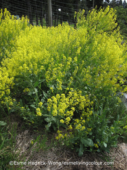 Isatis tinctoria Woad is a plant related to the cabbage family and produces a blue and purple dye similar to indigo. It is native to southern Russia, Afghanistan, Tibet and China. It's not known when woad was first cultivated in Europe but by the 13th century woad was an important source of commerce, Germany and France being the two largest producers. However this lucrative dye industry built around woad came under mounting competitive pressure in the 1500's when dried Indigo cakes were imported from India and European dyers discovered Indian indigo had 20 to 30 times more pigment than a comparable amount of woad. In 1609 the French government tried desperately to protect their woad producers by issuing a death penalty for any dyer using indigo instead of woad, but to no avail. In the end, Indian indigo won the trade war and indigo went on to become one of India's most important export products for the next two hundred and thirty years.