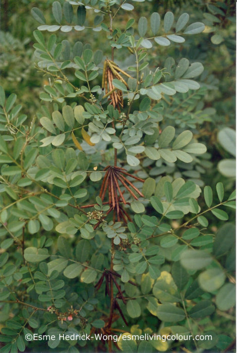 Indigofera tinctoria Indigo is a small insignificant-looking bush, yet its importance in the past surpasses all other natural dyes. Believed to have originated in India, it has been cultivated throughout the tropics. It can also grow successfully in cooler regions that have a long and hot growing season. Its popularity is due to the high concentration of blue pigment extracted from the leaves as well as for being easy to cultivate in both wet and dry climates. An added benefit is its ability to enrich the soil with nitrogen; for this reason, farmers have also used it as a natural fertilizer.