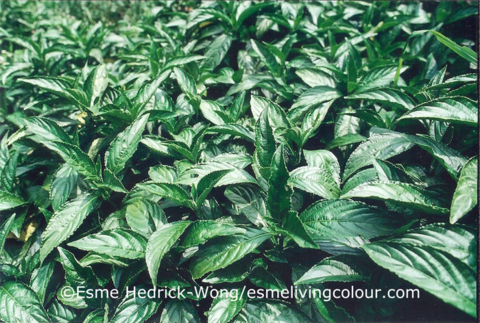 Strobilanthes cusia Ktze has been an important indigo dye plant in Southwest China, Taiwan, the southern Japanese Ryukyu Islands, northern Vietnam, Thailand, Myanmar, Malaysia, Bangladesh, Bhutan and Northeast India. It grows to the height of fifty centimeters and has small flouted purple flowers. The leaves contain a high concentration of the indigo pigment.